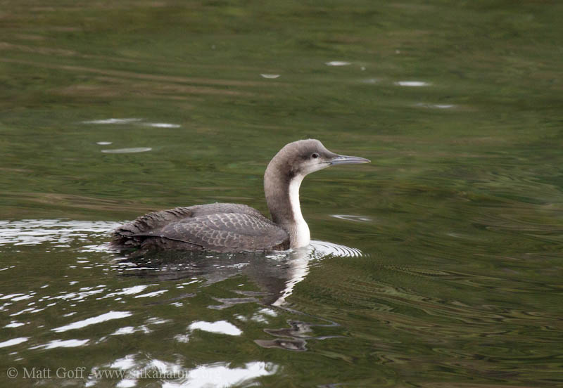 Pacific Loon