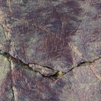 Hair Seaweed (Bangia?)
