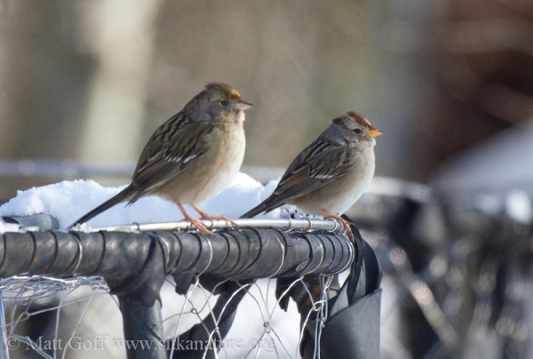 White-crowned and Golden-crowned Sparrows