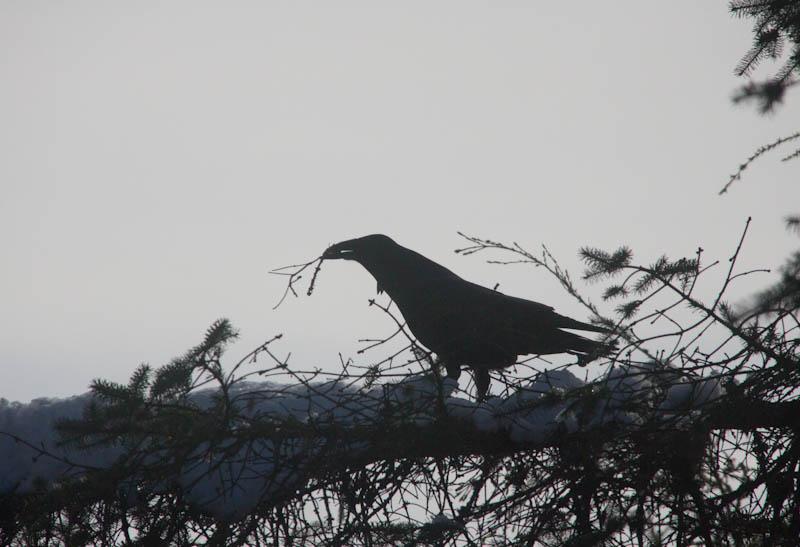 Raven Gathering Sticks