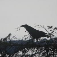 Raven Gathering Sticks