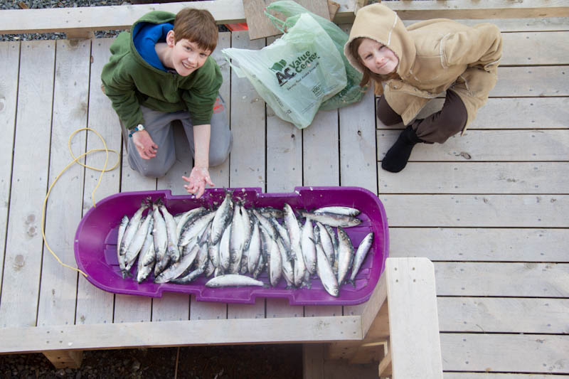 Kids' Herring Harvest