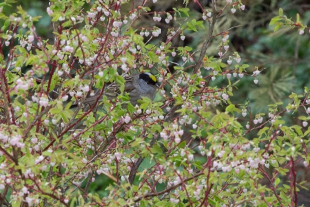 Golden-crowned Sparrow in Blueberry Bush