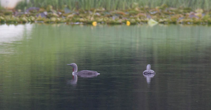 Red-throated Loons