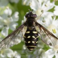 Flower fly (<em>Dasysyrphus sp</em>)
