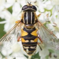 Flower fly (<em>Helophilus sp</em>)
