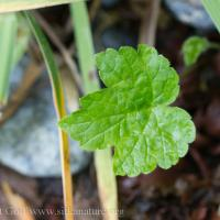 Young Cow Parsnip Leaf