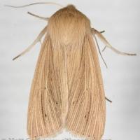 Lesser Wainscot (Mythimna oxygala)
