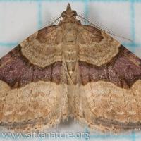 Moth (Xanthorhoe sp)