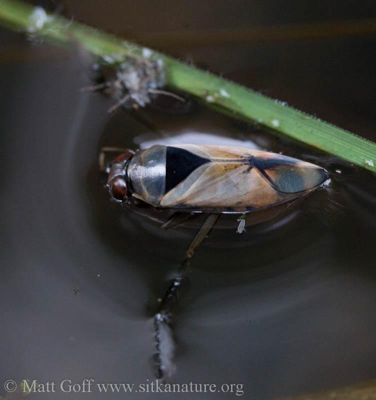 Backswimmer (Notonectidae)