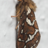 Ghost Moth (Gazoryctra sp)
