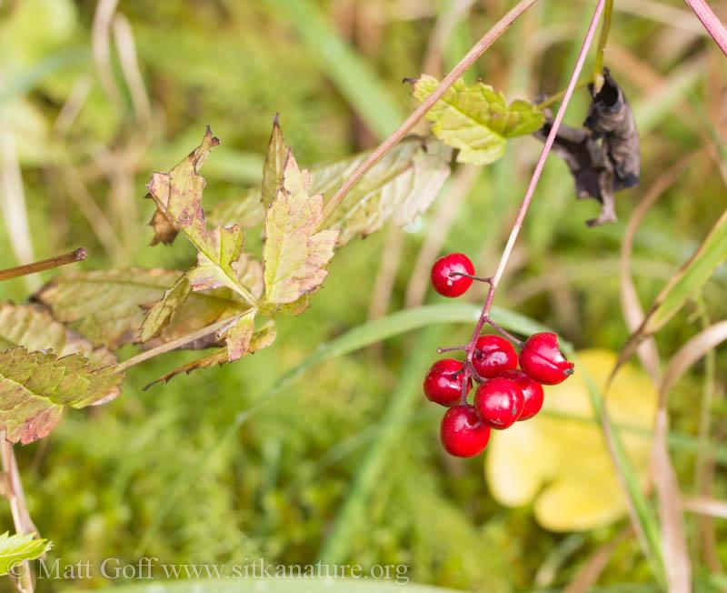 Baneberry (Actaea rubra) with Ripe Fruit