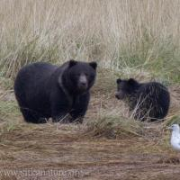Sow and Cub at Starrigavan