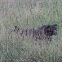 Starrigavan Bear