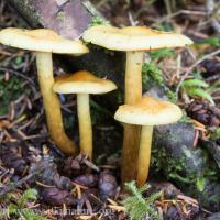 Pholiota sp