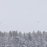 Ravens over Gavan Hill