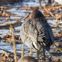 Resting Green-winged Teal