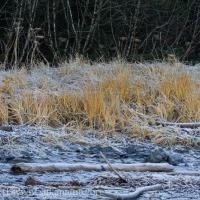 Beach Grass (Leymus mollis)