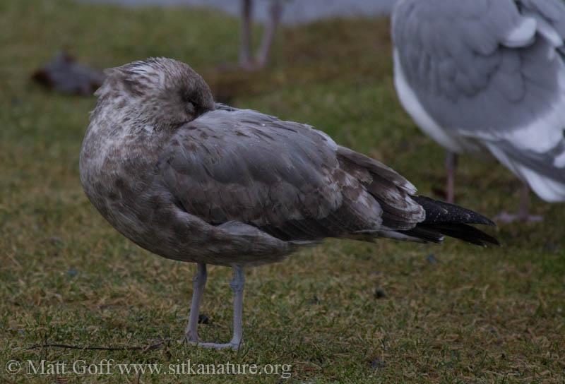 Immature California Gull