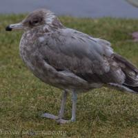 Immature California Gull