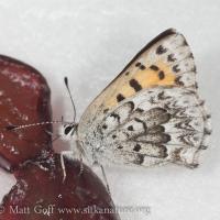 Reakirt's Copper (Lycaena mariposa)