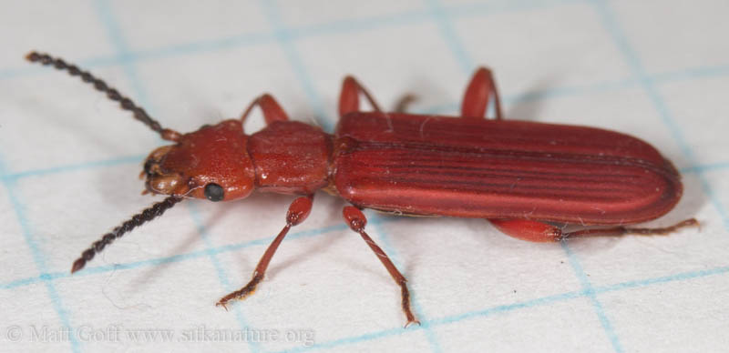 Red Flat Bark Beetle (Cucujus clavipes)