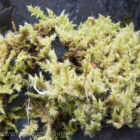 Niphotrichum ericoides