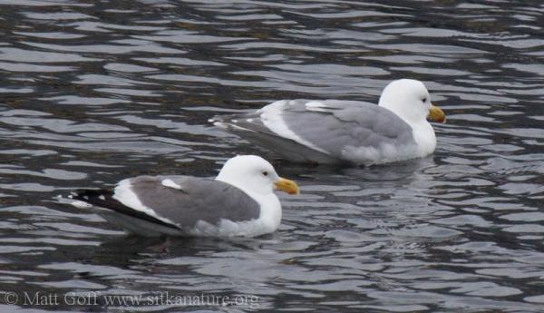 Western Gull?