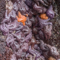 Sea Star Cluster