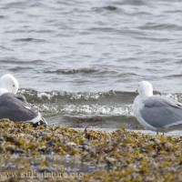 Western and Glaucous-winged Gull