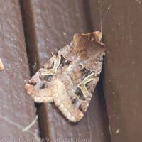 Enigmatic Dart Moth (<em>Cerastis enigmatica</em>)
