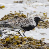 First of Spring Black-bellied Plover