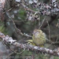Yellow Pine Siskin