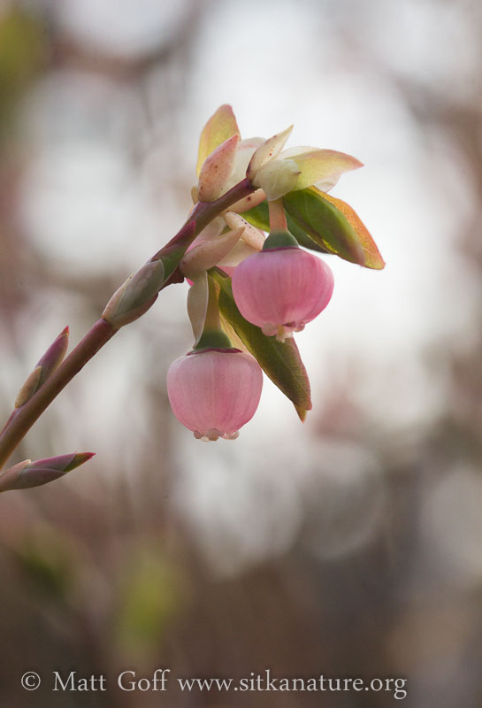 Blooming Blueberries