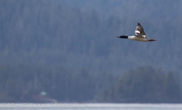 Male Common Merganser in flight
