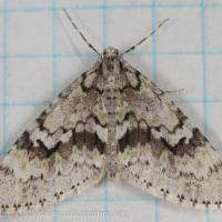 Mottled Gray Carpet (<em>Cladara limitaria</em>)