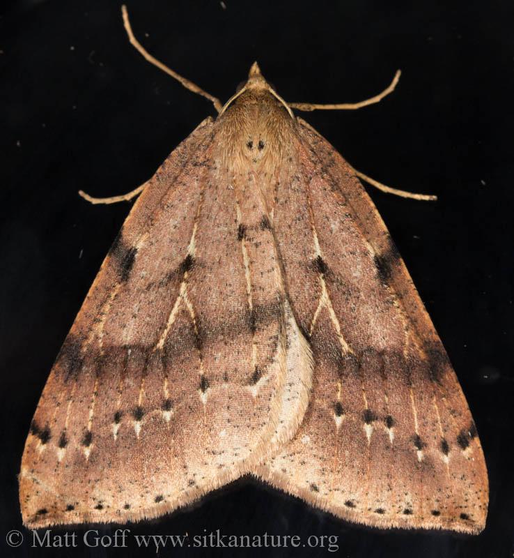 <em>Thallophaga hyperborea</em>