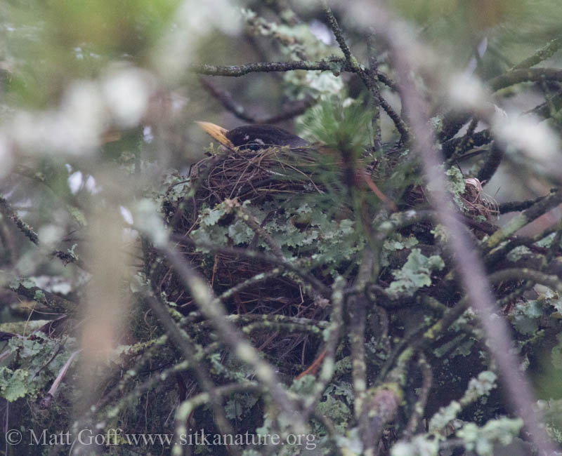 Robin on Nest