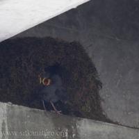 American Dipper Nest