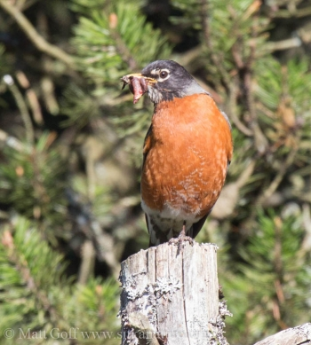 Male Robin Carrying Food