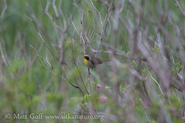 20130529-common_yellowthroat.jpg