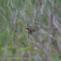 20130529-common_yellowthroat.jpg