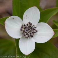 Ground Dogwood (<em>Cornus suecica</em>)
