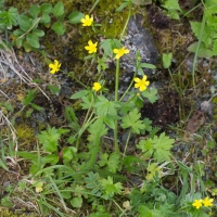 Western Buttercup (<em>Ranunculus occidentalis</em>)