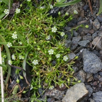 Beach Pearlwort (Sagina maxima)