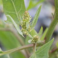 Spearscale (Atriplex gmelinii) Inforescence