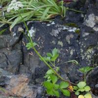 Lovage (Ligusticum scoticum)