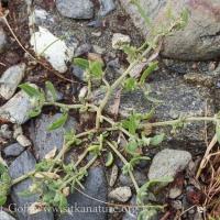 Fowler's Knotweed (Polygonum fowleri)