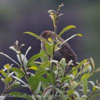 Fledgling Red-winged Blackbirid