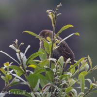Fledgling Red-winged Blackbirid